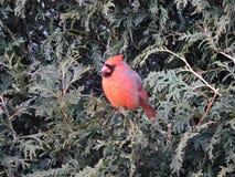 cardinal Foto de archivo
