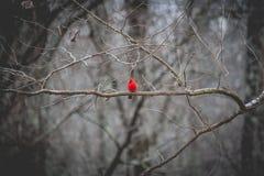 cardinal Foto de archivo libre de regalías