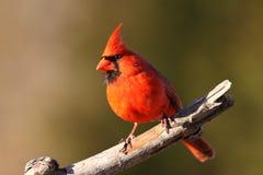 Cardinal imagem de stock royalty free