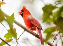 cardinal Image libre de droits