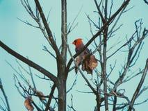 cardinal Fotos de Stock