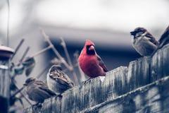 Cardinal-2 imagens de stock royalty free