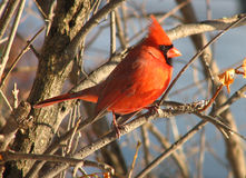Cardinal-9 Foto de Stock Royalty Free
