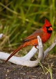 Cardinal on an antler Royalty Free Stock Photography