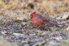 Cardinal in autumn Stock Image