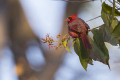 Cardinal in autumn Royalty Free Stock Photography