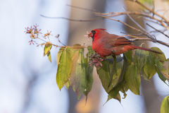 Cardinal in autumn Stock Images