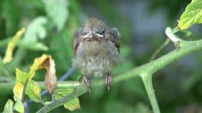 Cardinal baby bird Stock Image