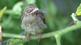 Cardinal baby bird Royalty Free Stock Photography