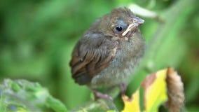 Cardinal baby bird Royalty Free Stock Image