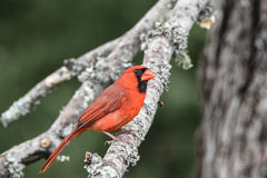 Cardinal. A beautiful bright red cardinal sitting on a tree branch looking serene Royalty Free Stock Photography