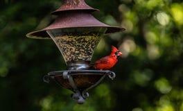 Cardinal Royalty Free Stock Photos