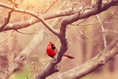 Cardinal. Beautiful red cardinal sitting in a tree Royalty Free Stock Image