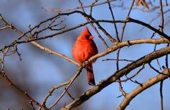 Cardinal Beauty Royalty Free Stock Image