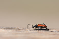 Cardinal Beetle Stock Photography