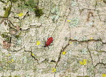 Cardinal beetle on bark surface Royalty Free Stock Image