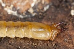Cardinal beetle larvae Stock Photos