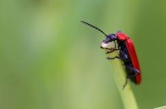 Cardinal Beetle Macro Stock Photography
