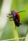 Cardinal Beetle Macro Stock Image