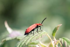 Cardinal beetle (Pyrochroa coccinea) Royalty Free Stock Photos