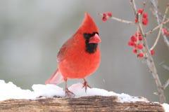 Cardinal with Berries Stock Photos