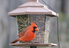 Cardinal Bird. Make northern cardinal at the bird feeder Stock Image