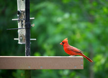 Cardinal bird Stock Images