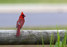 Cardinal Bird. A close up shot of a Northern Cardinal bird (Cardinalis cardinalis) on a fence post with room for copy royalty free stock photos