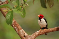 Cardinal Bird Stock Photos