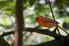 Cardinal Bird on a brach. A beautiful cardinal bird on a tree branch, with a light blurred background in the forest stock images