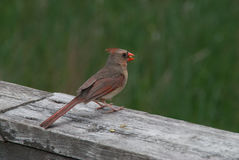 Cardinal bird Royalty Free Stock Images
