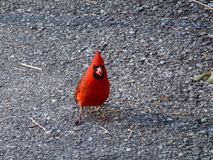 Cardinal Bird. Sitting on the road royalty free stock image