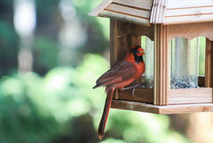 Cardinal- Bird Feeder. Adult Cardinal on the ledge of a wooden bird feeder with a seed in his beak royalty free stock photo