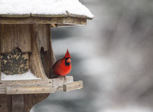 Cardinal at Bird Feeder Stock Images