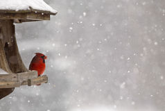 Cardinal at Bird Feeder. Snow Storm Canada Male Red royalty free stock photos