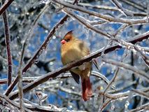 Cardinal Bird Royalty Free Stock Photography