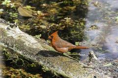 Cardinal Bird. In Florida Big Cypress Preserve Stock Photos