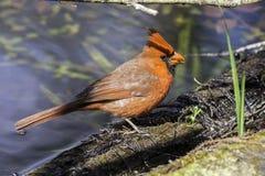 Cardinal Bird. In Florida Big Cypress Preserve Stock Image