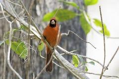 Cardinal Bird. In Florida Big Cypress Preserve Royalty Free Stock Photos