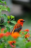 Colorful bird. The cardinal bird of Mauritius perched on a colorful bush. Also known as the madagacar Fody Stock Images