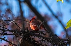 CArdinal bird perching. A Cardinal bird perched in the branches of a tree royalty free stock photography