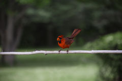 Cardinal bird Royalty Free Stock Photo