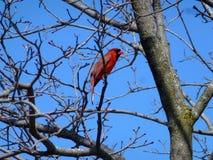 Cardinal Bird. Red male cardinal bird on the tree Royalty Free Stock Image