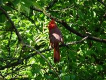 Cardinal Bird. Sitting on the branch Stock Image