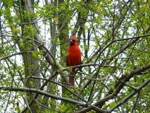 Cardinal Bird. Sitting on the tree branch Royalty Free Stock Photos