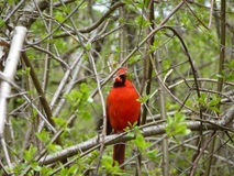 Cardinal Bird. Sitting on the tree branch Stock Images