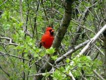 Cardinal Bird. Sitting on the tree branch Royalty Free Stock Photo