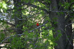 Cardinal Bird. Cardinal sitting in a tree in early spring of this year Royalty Free Stock Photos
