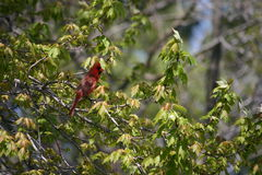 Cardinal Bird. Cardinal sitting in a tree in early spring of this year Royalty Free Stock Photo