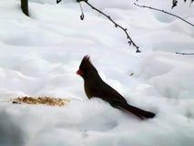 Cardinal Bird. On the snow Royalty Free Stock Photos